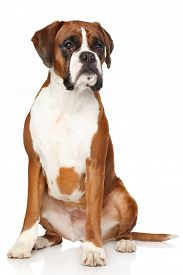 foto of boxers  - Portrait of Boxer dog on a white background - JPG