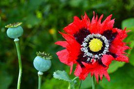 foto of opiate  - Opium poppy flower beside papaver somniferum capsules - JPG