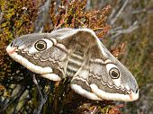 stock photo of emperor  - Female Emperor Moth on patch of heather - JPG