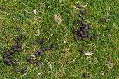 foto of decomposition  - Fresh sheep droppings on green grass - JPG
