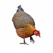 picture of fighting-rooster  - photo of  hen isolated on white background - JPG