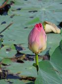 stock photo of marshes  - Blooming of lotus or water lily in marsh - JPG