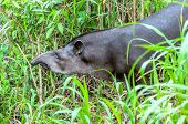 image of tapir  - Tapir head and shoulders profile on a background of lush green fresh grass ecuadorian Amazonia - JPG