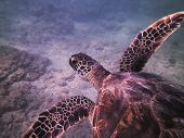 picture of sea-turtles  - Hawaiian Green Sea Turtle off the Island of Oahu - JPG