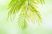 stock photo of mimosa  - Mimosa twig on defocused background Close up shots of nature - JPG