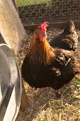 stock photo of hen house  - White and black and red hens walking on rural yard  - JPG