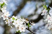 stock photo of cherries  - The bee collects nectar from flowers cherry plum - JPG