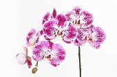 stock photo of moth  - Dark purple and white Moth orchids close up over white background - JPG