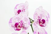 picture of moth  - Purple and white Moth orchids close up over white background - JPG