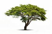 image of linden-tree  - big tree isolated on white background - JPG