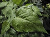 foto of ivy  - Green ivy Hedera with glossy leaves and white veins in the rain - JPG