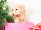 pic of christmas puppy  - puppy for Christmas tree on a white background - JPG