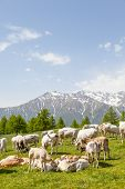 foto of calf cow  - Summer season on Italian Alps - JPG