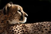 foto of cheetah  - Male cheetah from side with black background - JPG