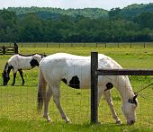 foto of paint horse  - A photograph of two paint horses grazing in a Tennessee meadow of buttercups - JPG