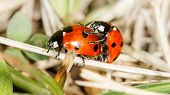 pic of mating  - two ladybird insects pair mating  - JPG