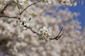foto of cherries  - Cherry blossoms in the spring with a closeup to the flowers and other cherry blossoms can be seen in the background - JPG