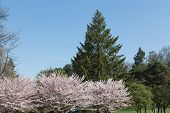 picture of cherry trees  - A Cherry Blossom Sakura tree with a green tree in the background - JPG