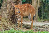foto of antelope horn  - Adult Female kudu antelope at a zoo - JPG