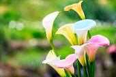 picture of calla  - Bouquet of multicolored calla lilies - JPG