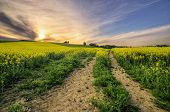 pic of rape-seed  - Rape seed fields at sunset with cloudy sky - JPG