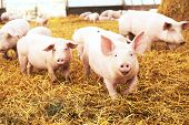 Постер, плакат: herd of young piglet on hay and straw at pig breeding farm