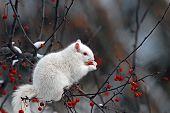 Albino squirrel eating berries