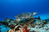 Hawksbill Turtle (Eretmochelys imbricata) swimming over coral reef - Cozumel Mexico