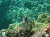 Whitebar Surgeonfish