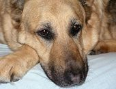 image of sad dog  - Bored or maybe sad looking German Shepherd - JPG