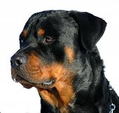 pic of bull-mastiff  - purebreed rottweiler detoured watching dog attentive and loyal - JPG