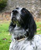 pic of english setter  - hunting dog - JPG