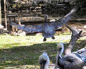 big male peican leaving the scene in hurried flight.