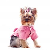 Cute Yorkshire Terrier In Pink Coat