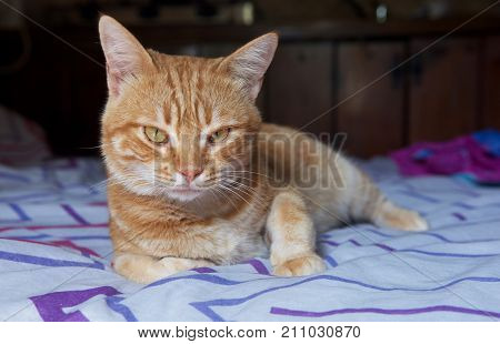 poster of Seriuos brown cat on a bed looking straight to camera, Sleepy cat on a sofa, resting cat face close up, lazy cat on day time, sleeping kitten, sleepy cat close up,domestic cat, relaxing cat