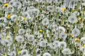 Dandelions Making Wishes In The Sun