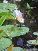 Water Lily Reflecting