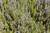 Rosemary (Rosmarinus officinalis)) Background