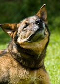 Portrait Of A German Shepherd Dog On A Sunny Day