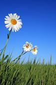 Olho de boi-margarida flores