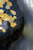 Water Curving Around Rock With Aspen Leaves