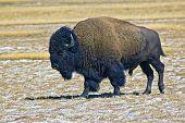 Buffalo In Field At Yellowstone