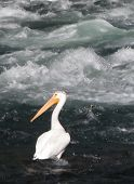A Pelican Looking Left