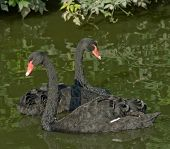 The Tango Of Black Swans