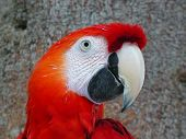 Scarlet Macaw Parrot In Amazon Rainforest