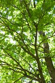 Tree Krona