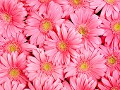 Background of gerbera flower.