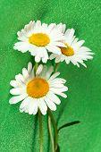 Daisy de olho de boi-bela flor