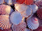 Beautiful Pink Scallop Shells
