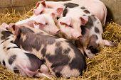 Gloucester Old Spot piglets